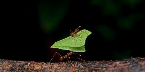 Leafcutter_ants (2)